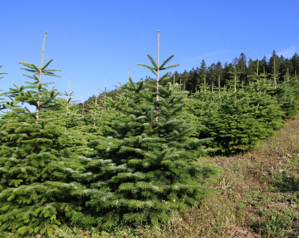 Nordmanntannen Schonung. Hof Reuter aus Serkenrode liefert Weihnachtsbäume aus dem Sauerland