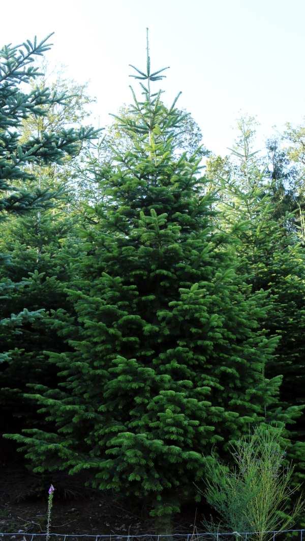 Nordmanntanne ca. 12 m hoch. Hof Reuter aus Serkenrode liefert Weihnachtsbäume aus dem Sauerland