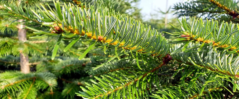 Weihnachtsbäume Sauerland Preise