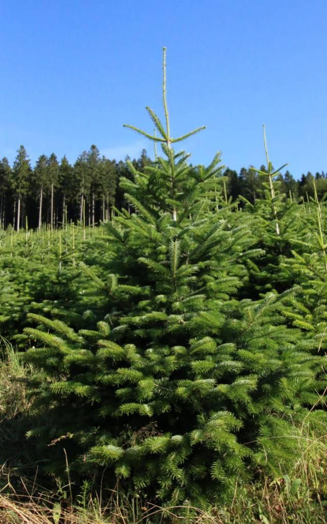 Nordmann Tanne ca. 1,80 m hoch, Hof Reuter aus Serkenrode liefert Weihnachtsbäume aus dem Sauerland. Schönes Grün.