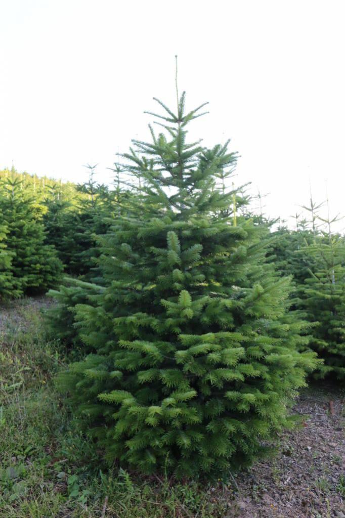 Nordmann Tanne ca. 2 m hoch. Hof Reuter aus Serkenrode liefert Weihnachtsbäume aus dem Sauerland